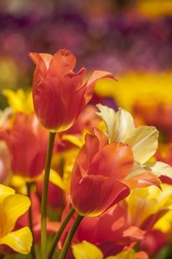 Tulip Flowers in Red and Yellow by Richard T. Nowitz