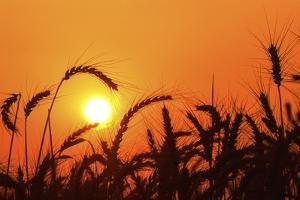 Wheat Plants in Silhouette by Richard T. Nowitz