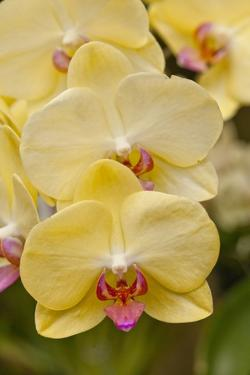 Yellow Orchids by Richard T. Nowitz