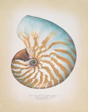 Chambered Nautilus by Richard Van Genderen