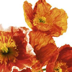 Poppies II by Richard Weinstein