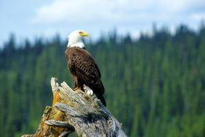 A bald eagle perching on a dead tree of Bowron Lake in Bowron Lake Provincial Park, B.C. by Richard Wright