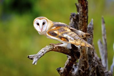A Barn Owl (Tyto Alba) Perching by Richard Wright