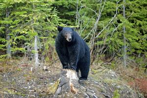 A Black Bears, Forages for Greens in Spring in the Mountains of B.C. by Richard Wright