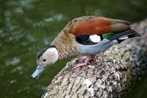 A Blue Billed Duck in Kowloon Park, Hong Kong, Captive by Richard Wright
