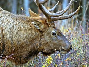A Bull Elk Grazes in the Rocky Mountains in Jasper NP, Canada by Richard Wright
