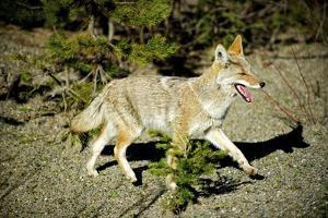 A Coyote, Searches for Prey in the Cariboo Mts of B.C., Canada by Richard Wright