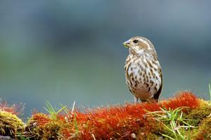 A female Pine Siskin, (Carduelis pinus). by Richard Wright