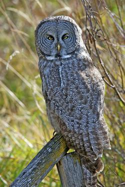 A Juvenal Great Grey Owl, the Largest Owl in the World by Richard Wright