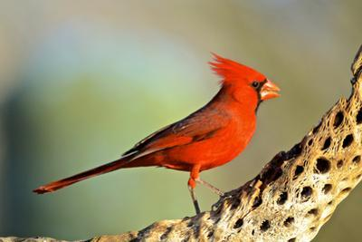 A Male Cardinal Feeds on Insects on a Cholla Cactus Skeleton by Richard Wright
