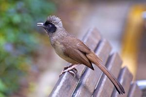 A Masked Laughing Thrush in Kowloon Park, Hong Kong by Richard Wright