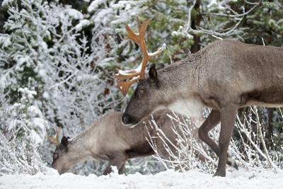 A Mountain Caribou, Endangered by Richard Wright
