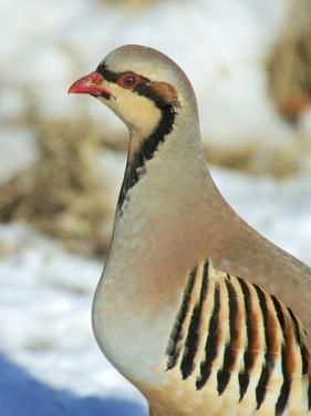 A native of southern Eurasia, the Chukar was introduced to North America as a game bird. by Richard Wright
