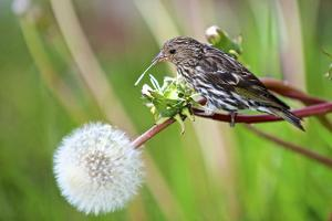 A Pine Siskin, Carduelis Pinus, Pecks Seeds from a Dandelion by Richard Wright