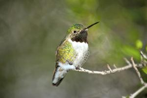 A Ruby-Throated Hummingbird, One of the Most Common of the Hummers by Richard Wright