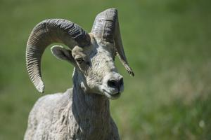A six-year old Bighorn ram by Richard Wright