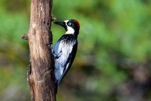 Acorn Woodpecker Female (Melanerpes Formicivorus) Searching for Food by Richard Wright