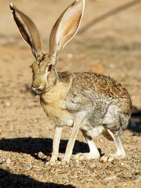 An Antelope Jackrabbit (Lepus Alleni) Alert for Danger by Richard Wright