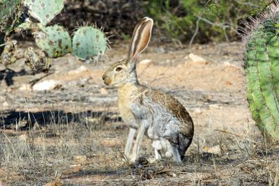 An Antelope Jackrabbit (Lepus Alleni) Alert for Danger by Richard Wright