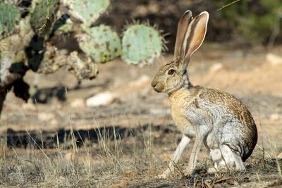 An Antelope Jackrabbit (Lepus Alleni) Alert for Danger