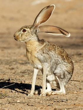 Antelope Jackrabbit. Largest of the North American Hares, Arizona by Richard Wright