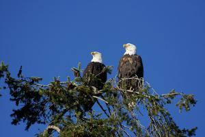 Bald Eagles Roosting in a Fir Tree in British Columbia by Richard Wright