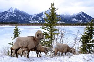 Bighorn Sheep Against Athabasca River, Jasper National Park, Alberta, Canada by Richard Wright