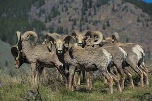 Bighorn sheep. by Richard Wright