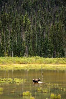Cow Moose Feeding on Aquatic Plants in a Mountain Marsh by Richard Wright