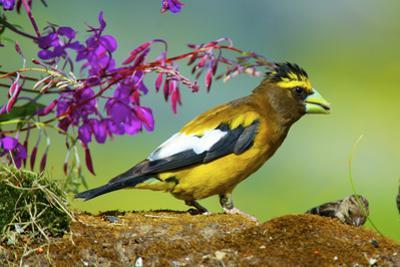Evening Grosbeak Foraging on the Ground by Richard Wright