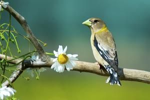 Evening Grosbeak Perched in a Tree by Richard Wright