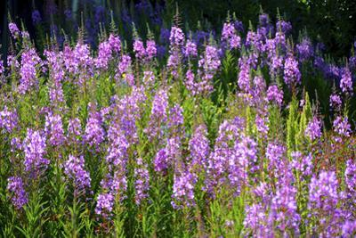 Fireweed Blooms in Late Summer in the Mountain Regions by Richard Wright