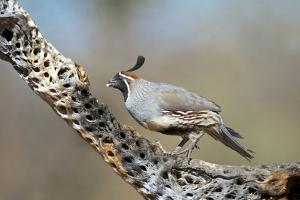 Gambel's Quail Feeds on the Skeleton of Cholla Cactus, Sonoran Desert by Richard Wright