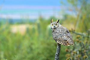 Great Horned Owl, also known as the Tiger Owl by Richard Wright