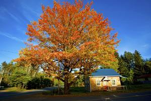 Haida Gwaii, British Columbia. a Massive Oak Tree in Port Clements Dwarfs a Small House by Richard Wright