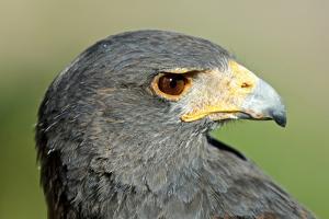 Harris Hawk, Harris Hawk a Harris Hawk Hunting in the Sonoran Desert by Richard Wright