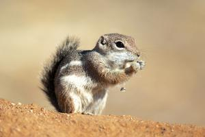Harriss Antelope Squirrel Is a Rodent Found in Arizona and New Mexico by Richard Wright