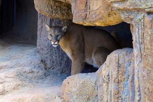 Mountain Lion. Captive, Arizona, Sonoran Desert Museum by Richard Wright
