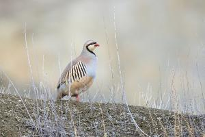 Native of southern Eurasia, the Chukar Partridge was introduced to North America as a game bird by Richard Wright