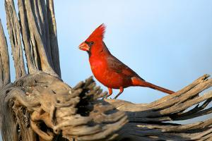 Northern Cardinals (Cardinalis Cardinalis) in the Family Cardinalidae by Richard Wright