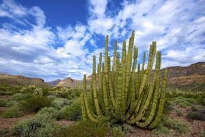 Organ Pipe Cactus NM, Saguaro and Organ Pipe Cactus to the Ajo Mts by Richard Wright