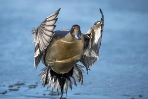 Pintail duck (Anas acute) has a wide geographic distribution across northern latitudes. by Richard Wright