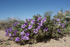 Purple Mat an Attractive Desert Flower Found in Organ Pipe Cactus Nm by Richard Wright