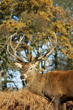 Red Deer of Richmond Park, London, Uk, Main Attraction of This Reserve by Richard Wright