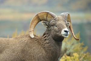 Rocky Mountain Bighorn Sheep Ewe in the Cascade Mts, Canada by Richard Wright