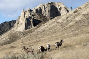 Rocky Mountain bighorn sheep grazing in grasslands. Mature rams. by Richard Wright