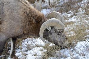 Rocky Mountain Bighorn Sheep in Jasper National Park, Alberta, Canada by Richard Wright