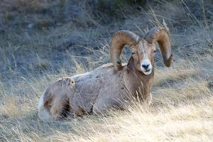 Rocky Mountain Bighorn Sheep, Ovis Canadensis Canadensis, B.C, Canada by Richard Wright