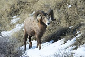 Rocky Mountain Bighorn Sheep ram. by Richard Wright