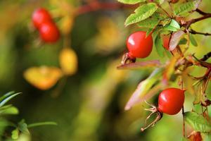 Rose Hips on the Tidal Shore by Richard Wright